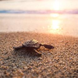 Tortue juvénile rejoignant la mer