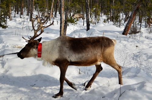 SISMA reindeer