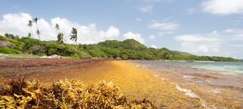 "Large quantities of Sargassum seaweed lay ashore at the ""Anse au Bois"" beach in Martinique"