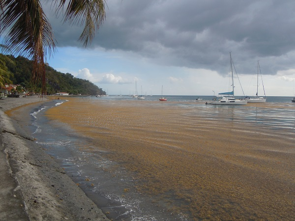 sargassum on the beach of Saint-Pierre
