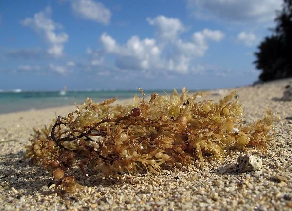 algue sargasse