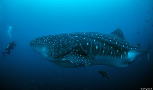 Whale Shark with Argos tag