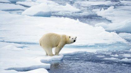 ours sur la banquise