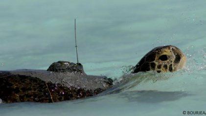 tortue especes menacées suivi argos