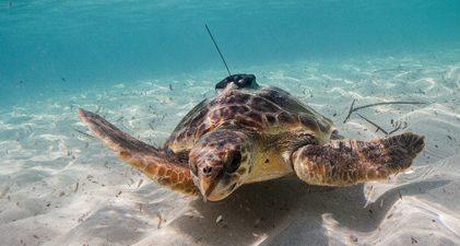 tortues sous l'eau